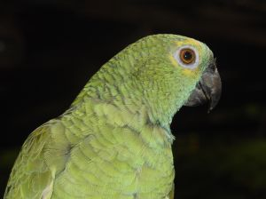 papuga nimfa - jak hodować?